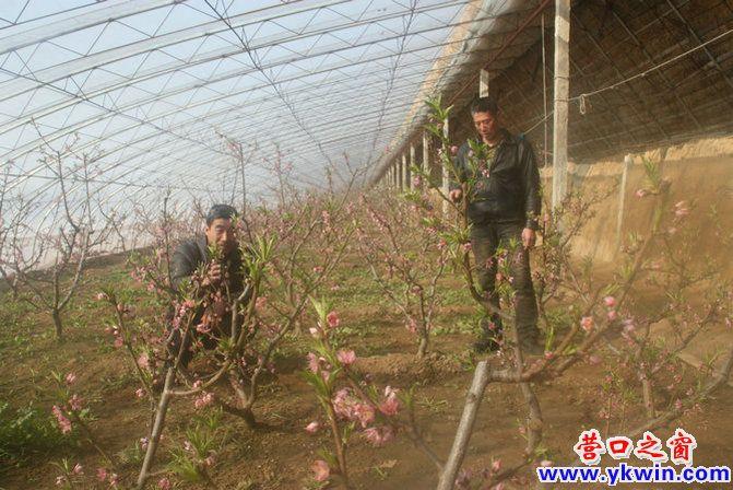 温室大棚种植户于国庆正忙着对油桃树进行管护