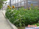 葵花在街边的豆地盛开