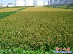 营口水稻丰收在望