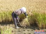 国庆节,腰沟村民喜割丰收的水稻