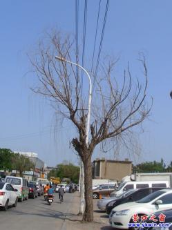 12bet官方网站市育新路两棵死树应当砍伐