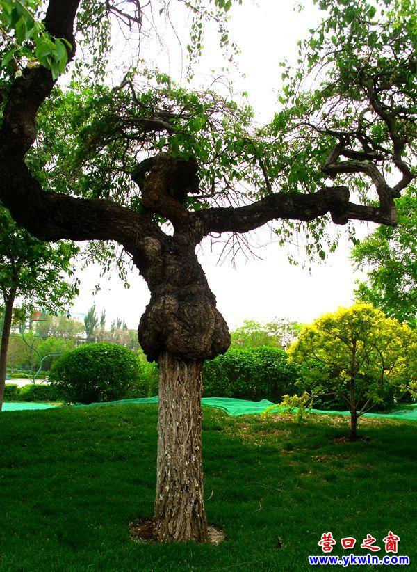 """营口辽河公园一棵老树穿""""皮袄"""""""