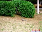 营口楞严寺公园飞来了一只灰喜鹊