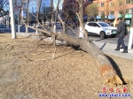 朽树倒下多日 没人把它拉走