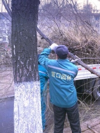 营口:早春二月修剪树枝正当时