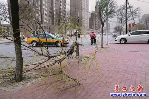 营口24日狂风大作 行道树被拦腰折断
