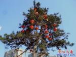这些红灯笼想与绿松树度蜜年?