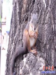 營口市街頭柳樹上驚現松鼠