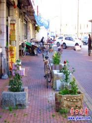 建设街边有奇葩 月季花开人行道